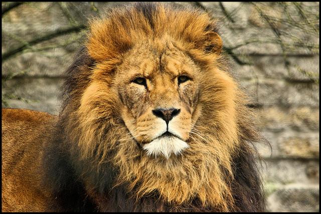 lion_guerrier_pacifique
